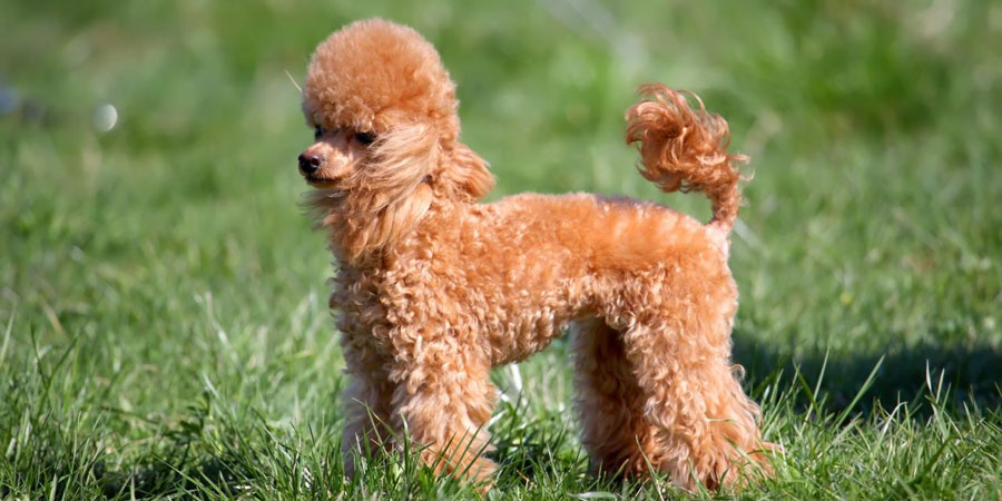 Miniature Poodle picture