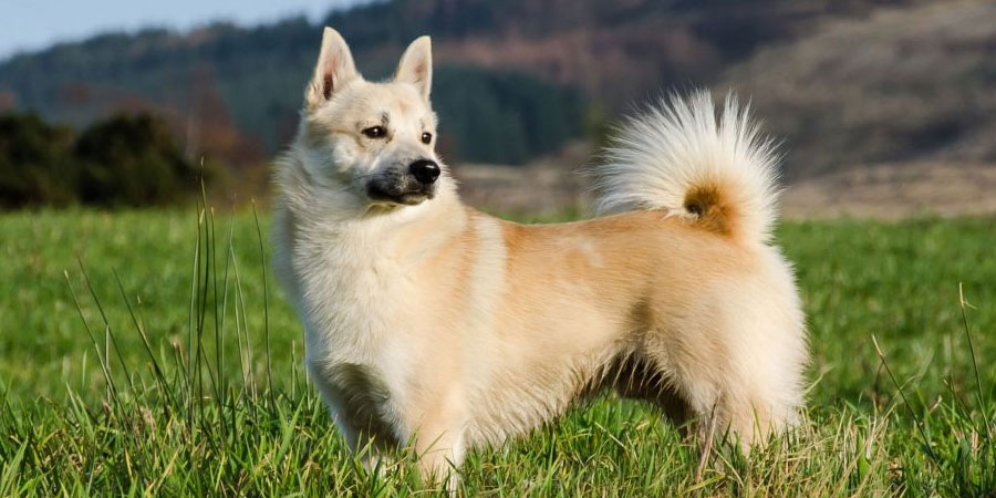 Norwegian Buhund picture