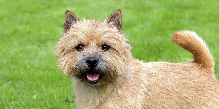 Norwich Terrier picture