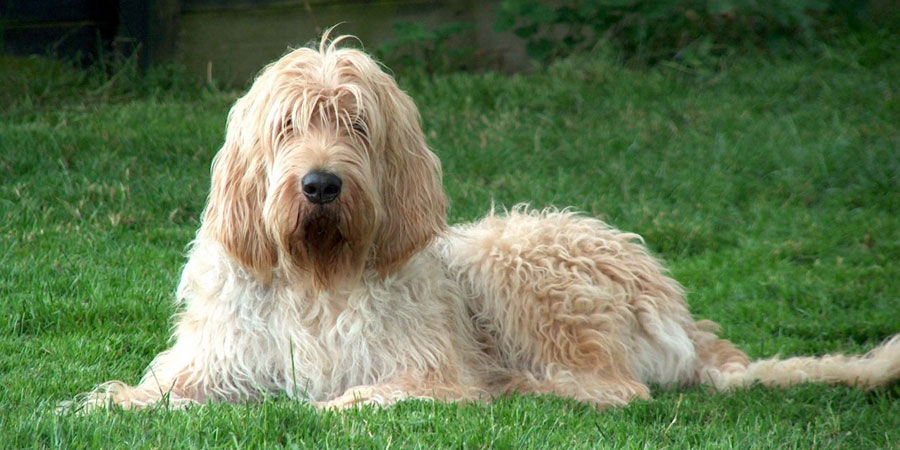 Otterhound picture