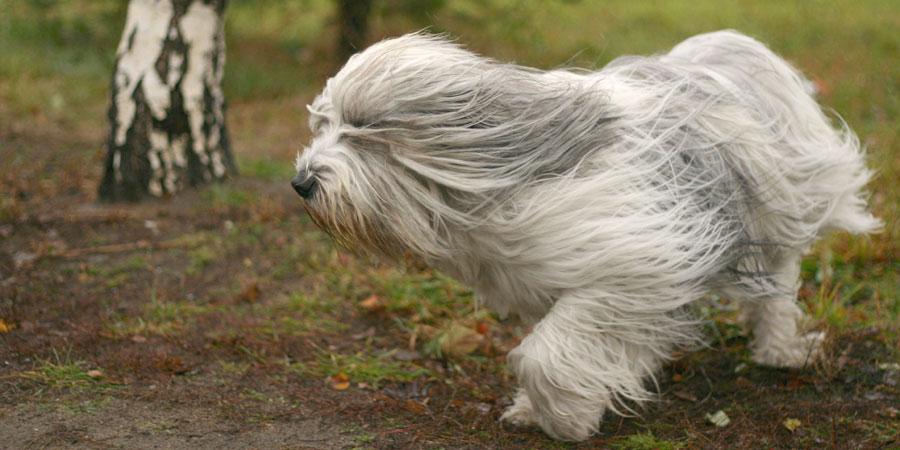 Polish Lowland Sheepdog picture