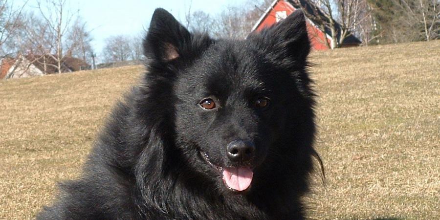 Swedish Lapphund picture