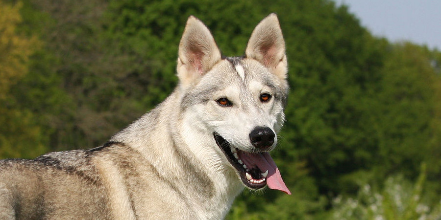 Tamaskan Dog picture
