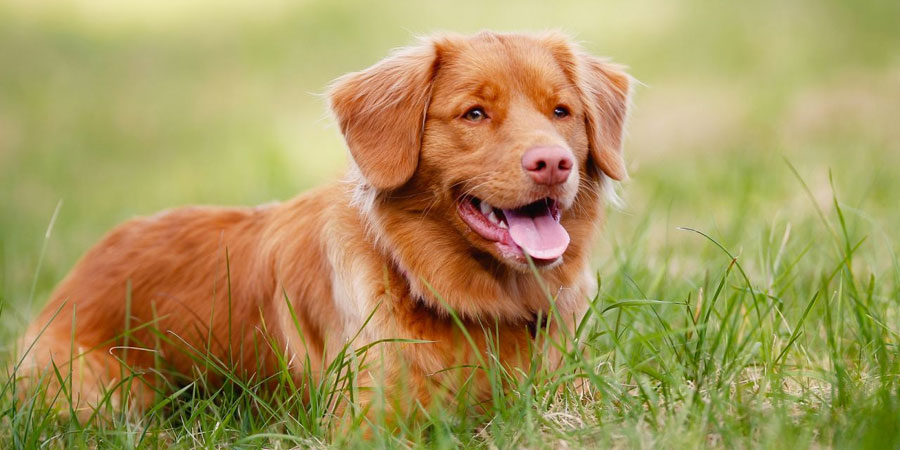 Nova Scotia Duck Tolling Retriever picture