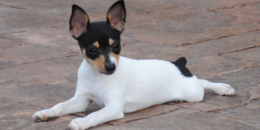 Toy Fox Terrier picture