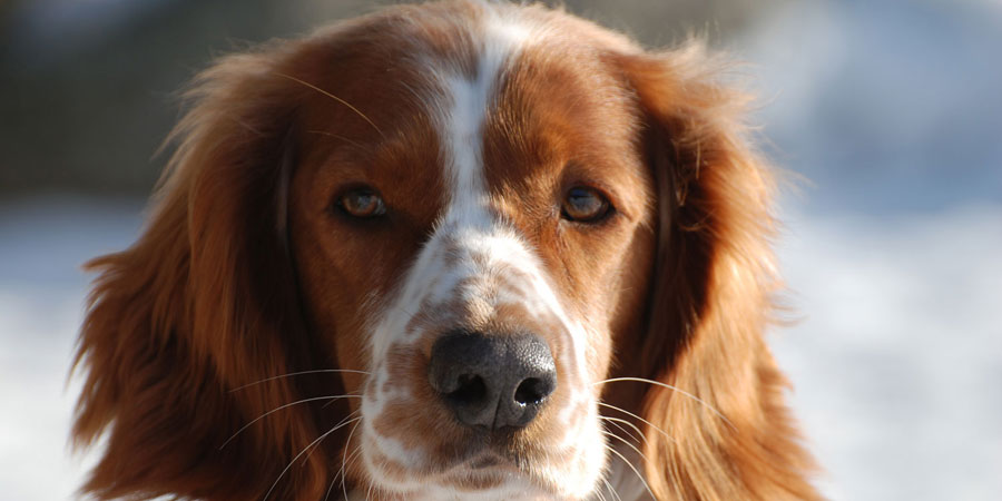 Welsh Springer Spaniel picture