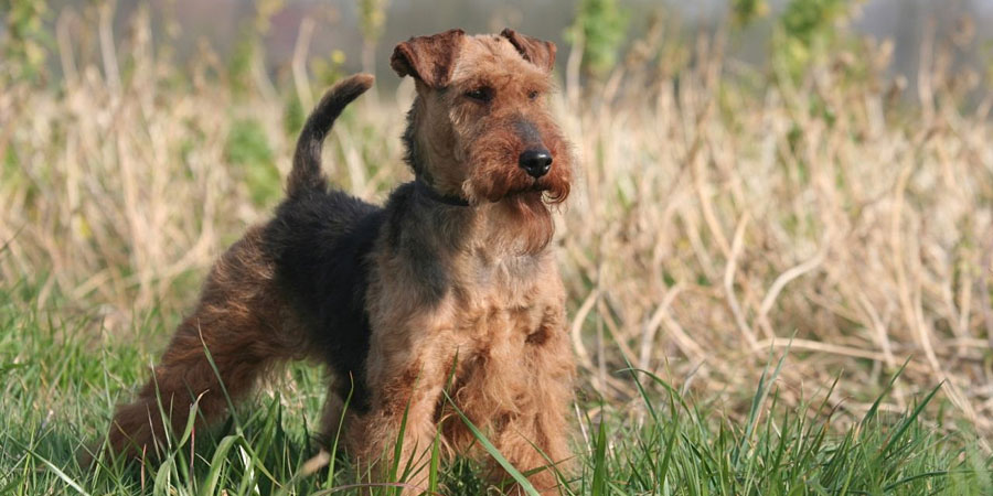 Welsh Terrier picture