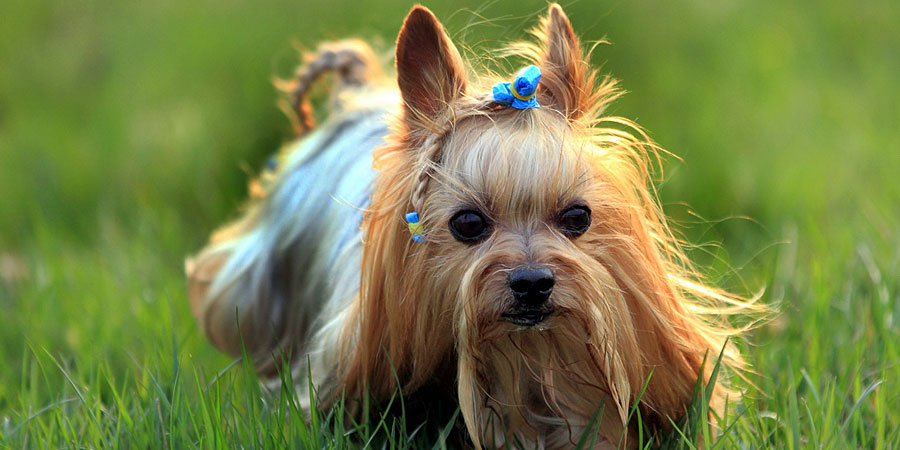 Yorkshire Terrier picture